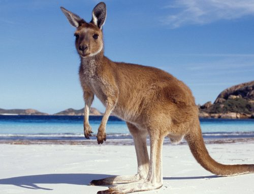 «Запчасти» из кенгуру