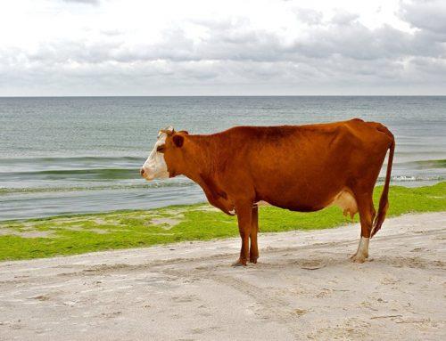 В Швеции из-за жары коровам разрешили купаться на пляже