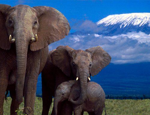 Рак слонам нипочем