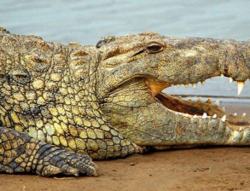 На юге Таиланда появился неуловимый крокодил